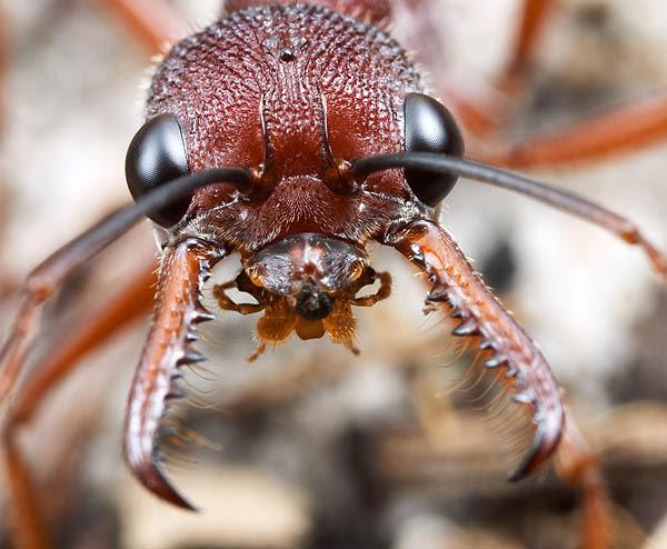 ig47_ant_MyrNigris1_02-1