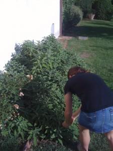 Grace picking leaves for 'pollo con burro e salvia bruciata'.
