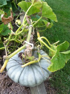 Now's the time to plant some pumpkin seeds/seedlings