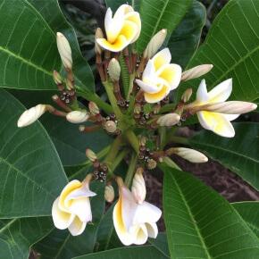 Frangipani flowers bursting forth