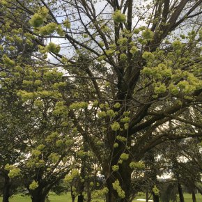 Elm blossoms doing their thing