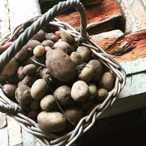Such bounty from just six seed potatoes.